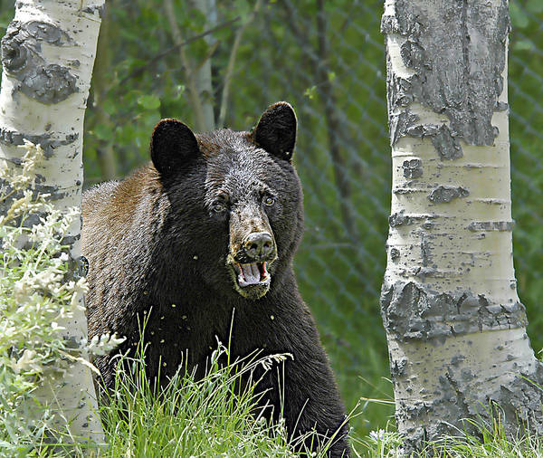 Bear In Yard Poster