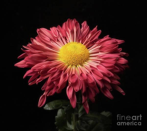 Beautiful Chrysanthemum Poster