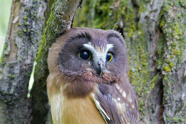 Beautiful Eyes Of A Saw-whet Owl Chick Poster