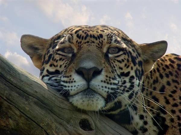Beautiful Jaguar Poster
