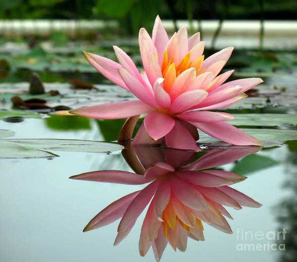 Beautiful Water Lily In A Pond Poster