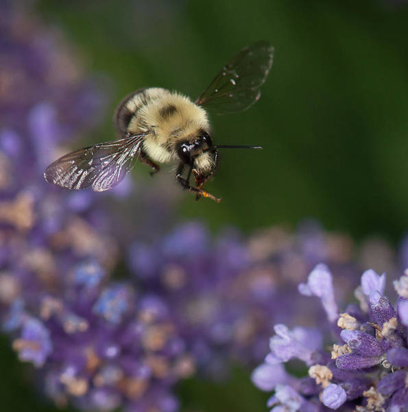 Bee Approaches Lavender Poster