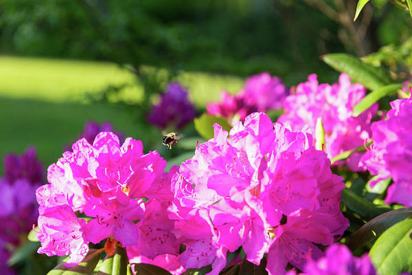 Bee Flying Over Catawba Rhododendron Poster