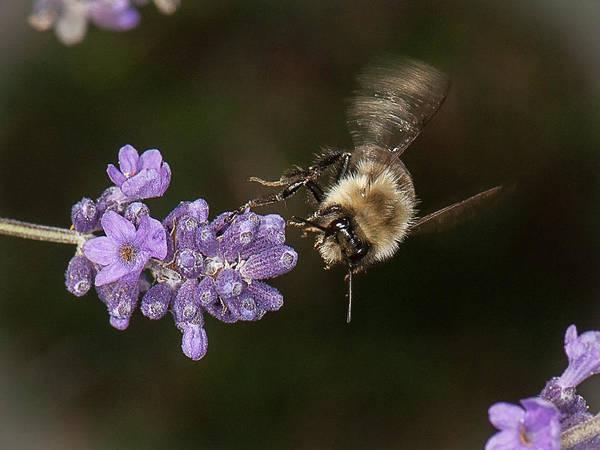 Bee Landing On Lavender Poster
