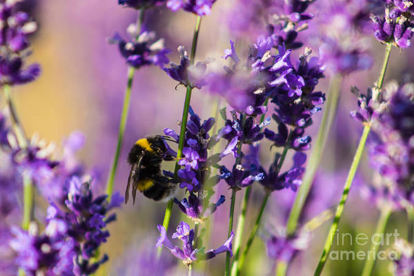 Bee On Lavender Poster