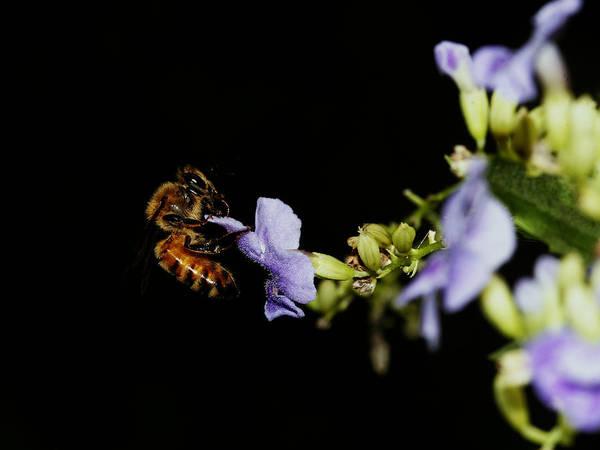 Bee Portrait Poster