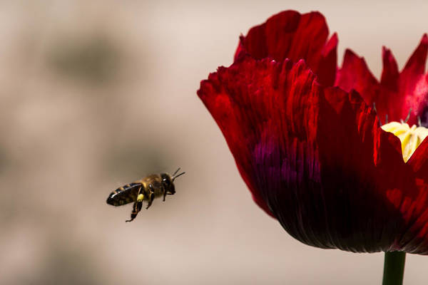 Bee Right Profile Flying To Red Flower Poster