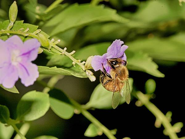 Bee Taking Pollen Poster