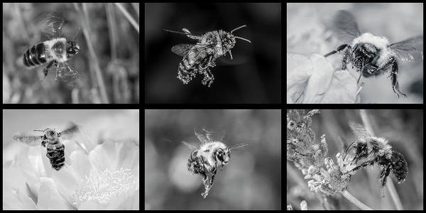 Bees In Flight In Black And White Poster