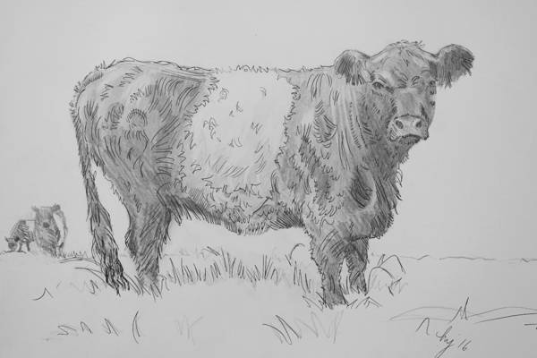 Belted Galloway Cow Pencil Drawing Poster