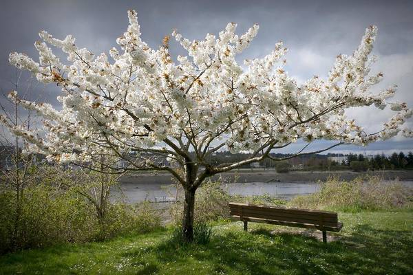 Bench And Blossoms Poster