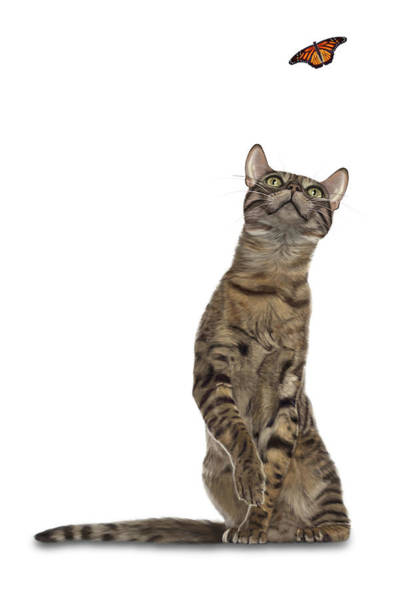 Bengal Cat With Butterfly Poster