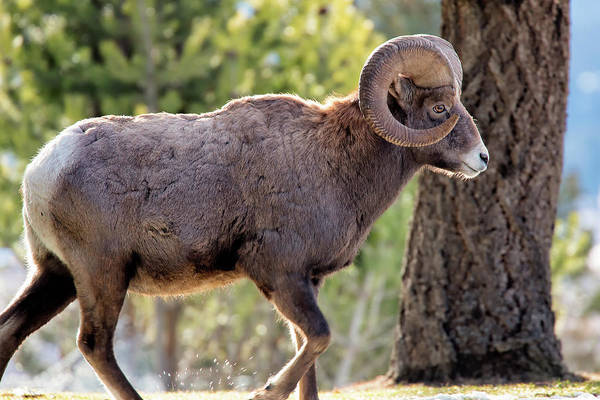Poster featuring the photograph Big Horn Ram by David Buhler