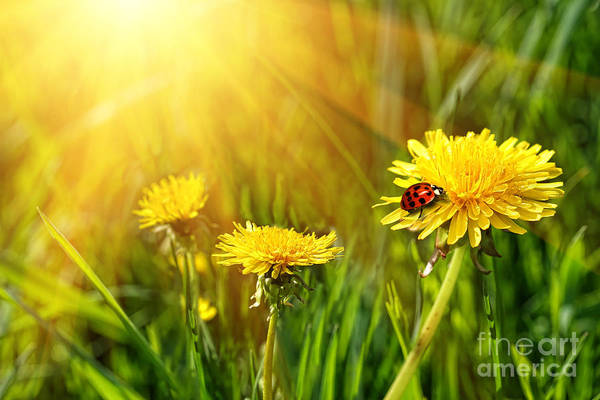 Big Yellow Dandelions In The Tall Grass Poster
