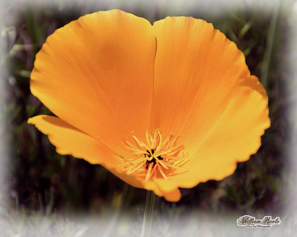 Poster featuring the photograph Big Yellow Poppy by William Havle