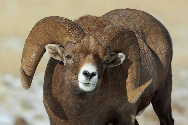 Bighorn Ram In Montana Poster