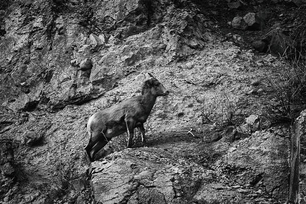 Bighorn Sheep Ewe On Wolf Creek Pass Poster