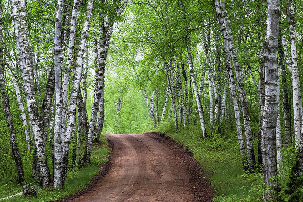 Poster featuring the photograph Birch Tree Forest Path #3 by Patti Deters