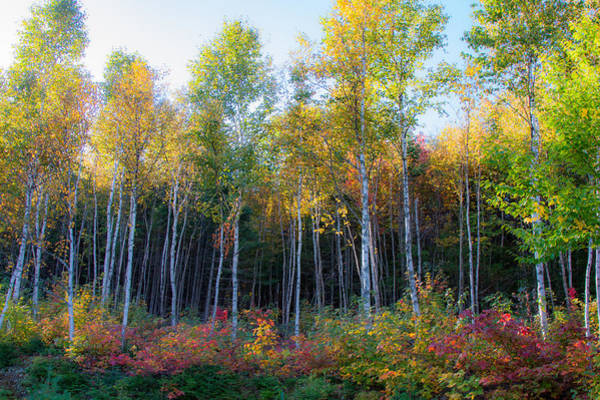 Birch Trees Turn To Gold Poster