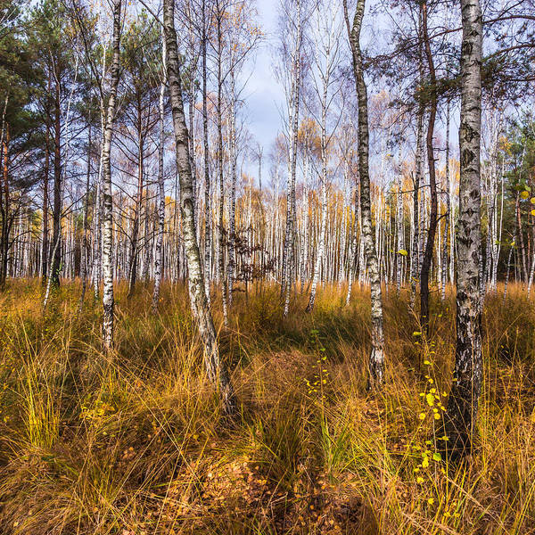 Birches And Grass Poster