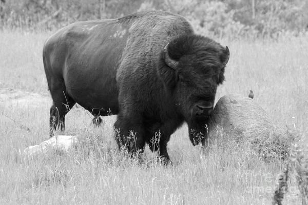 Bison And Buffalo Poster