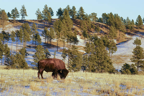 Bison In Custer State Park Poster