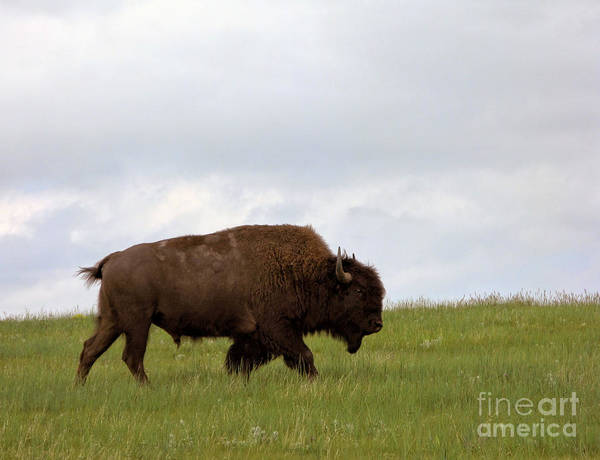 Bison On The American Prairie Poster