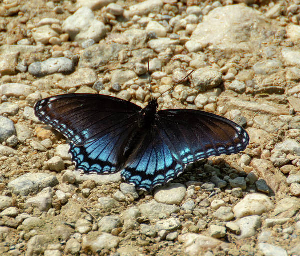 Black And Blue Monarch Butterfly Poster