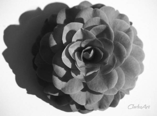 Camellia In Black And White Poster