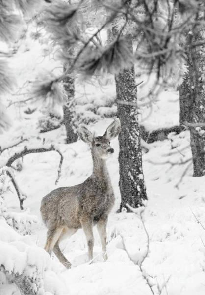 Black And White Mule Deer In Heavy Snowfall Poster