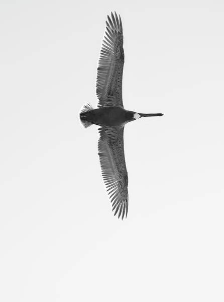 Black And White Pelican Poster