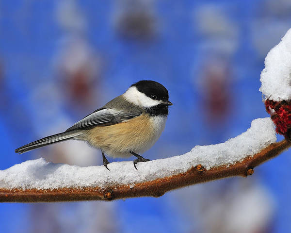 Black-capped Chickadee In Sumac Poster