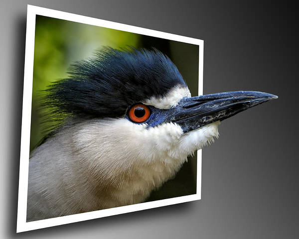 Black Crowned Night Heron Out Of Bounds Poster