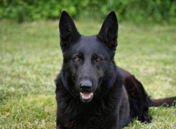 Black German Shepherd Dog II Poster