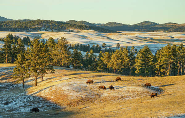 Poster featuring the photograph Black Hills Bison Before Sunset by Bill Gabbert