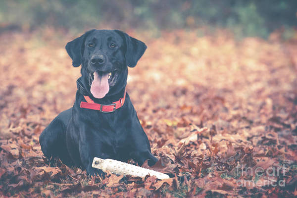Black Labrador In The Fall Leaves Poster