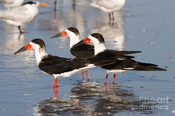 Black Skimmer Birds Poster
