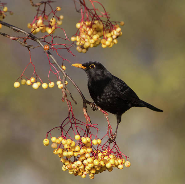 Blackbird Yellow Berries Poster