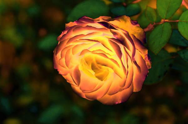Blazing Rose Poster