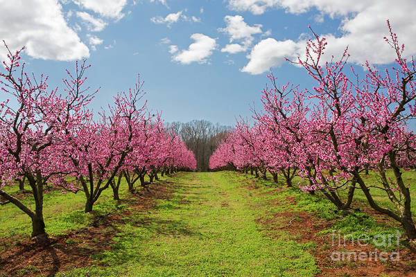 Blooming Peach Orchard 1 Poster