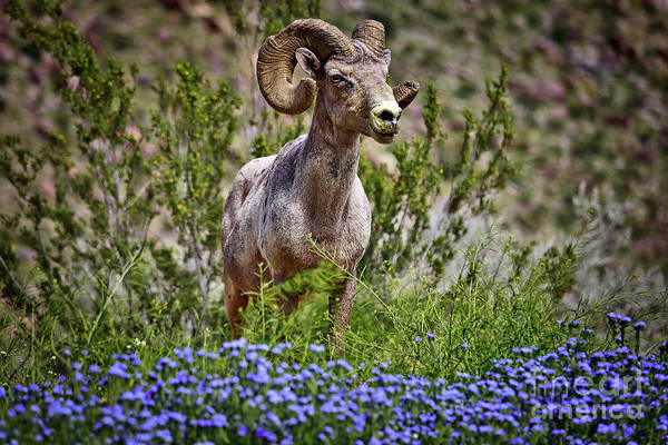 Blooms And Bighorn In Anza Borrego Desert State Park  Poster