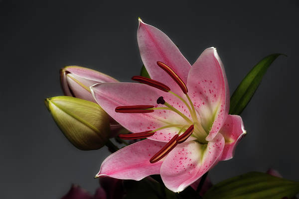 Blossoming Pink Lily Flower On Dark Background Poster