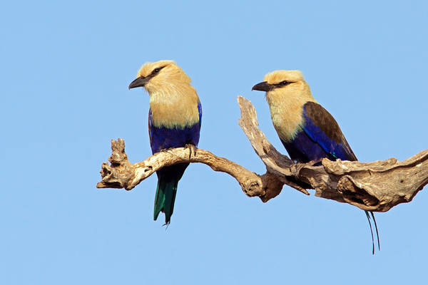 Blue-bellied Rollers On Branch  Poster