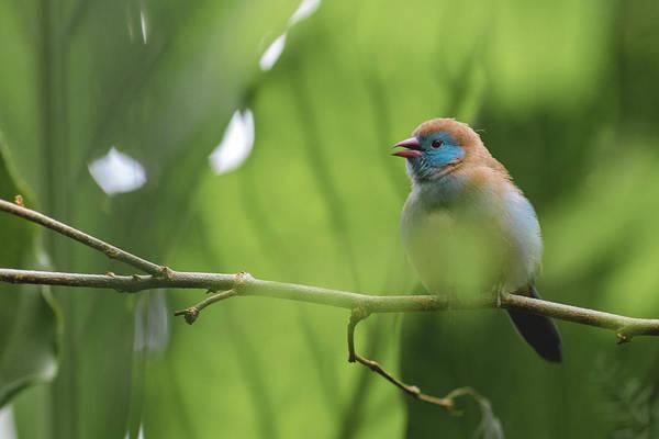 Blue Bird Chirping Poster