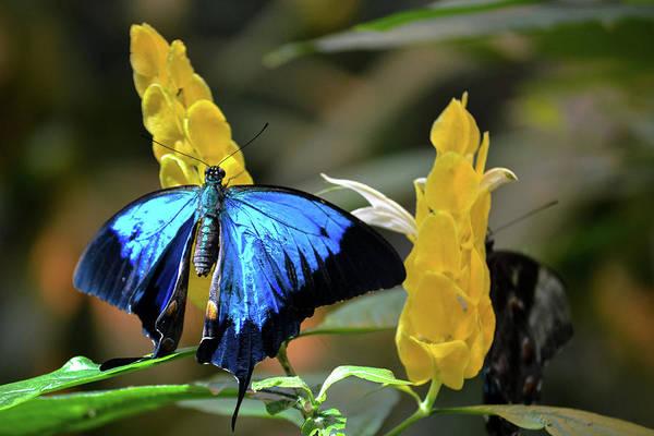 Blue Beauty Butterfly Poster