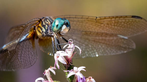 Blue Dasher Dragonfly Resting Poster