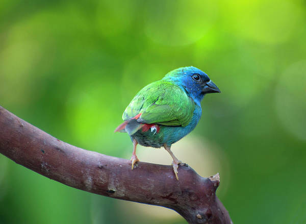 Blue-faced Parrotfinch Poster