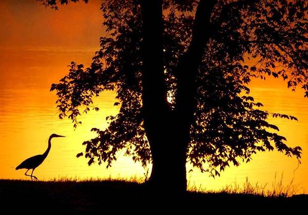 Blue Heron At Sunrise Poster