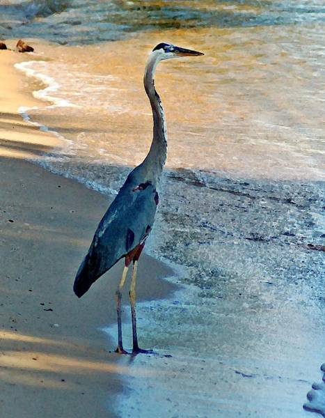Blue Heron On The Beach Close Up Poster