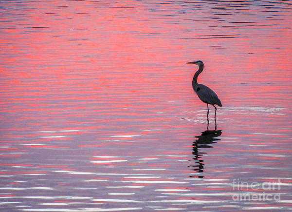 Poster featuring the photograph Blue Heron - Pink Water by Tom Claud